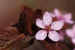 Manzana salvaje Foto de archivo