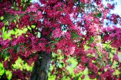 Manzana salvaje floreciente Imagen de archivo