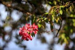 Manzana salvaje floreciente Imagen de archivo libre de regalías