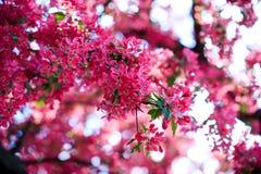 Manzana salvaje floreciente Foto de archivo libre de regalías