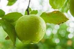 Manzana verde Imagen de archivo libre de regalías
