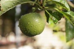 Manzana verde deliciosa que crece en el árbol Imágenes de archivo libres de regalías