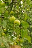 Manzana verde en la rama Foto de archivo libre de regalías
