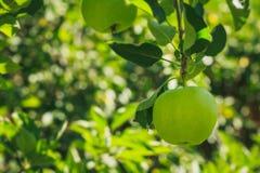 Manzana verde grande en la rama Fotos de archivo libres de regalías