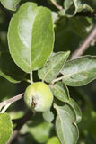 Manzana verde inmadura en la ramificación de árbol Imagenes de archivo