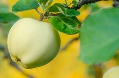 Manzana verde madura Imagen de archivo libre de regalías