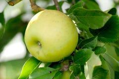 Manzana verde que crece en árbol Imágenes de archivo libres de regalías