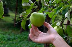 Manzana y mano frescas fotografía de archivo