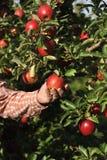 Manzanar con las manzanas maduras rojas Fotografía de archivo libre de regalías