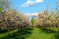 Manzanar en flor en día soleado de la primavera en colores en colores pastel Imagenes de archivo