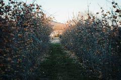 Manzanar en la primavera fotografía de archivo libre de regalías