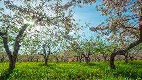 Manzanar floreciente, time lapse con la grúa almacen de metraje de vídeo