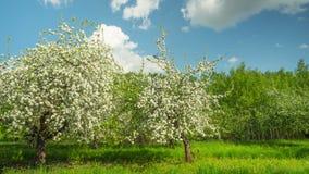 Manzanar floreciente, time lapse panorámico almacen de metraje de vídeo