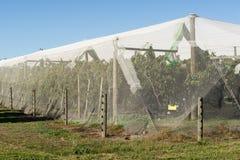 Manzanar protegido por la red del pájaro fotografía de archivo libre de regalías