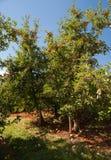 Manzanar rojo Fotografía de archivo libre de regalías