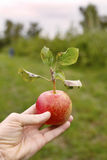 Manzanas 12 Fotografía de archivo
