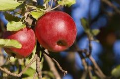 Manzanas (2) en el árbol - horizontal Foto de archivo libre de regalías