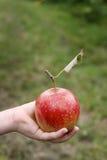 Manzanas 24 Foto de archivo