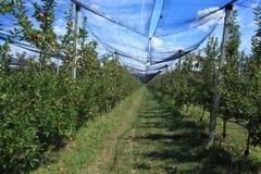 Manzanas Foto de archivo