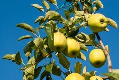Manzanas amarillas Imagenes de archivo