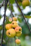 Manzanas amarillas Foto de archivo libre de regalías