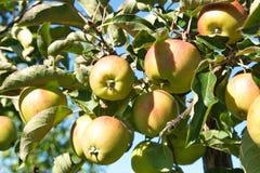 Manzanas amarillas en el sol Imagen de archivo libre de regalías