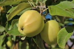 Manzanas amarillas en una rama Foto de archivo libre de regalías