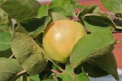 Manzanas amarillas en una rama Fotos de archivo