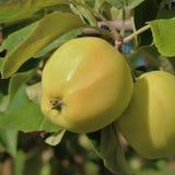 Manzanas amarillas en una rama Imágenes de archivo libres de regalías