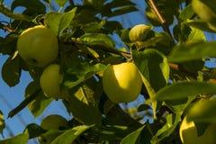 Manzanas amarillas maduras en una rama imagen de archivo