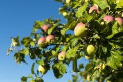 Manzanas amarillo-rojas maduras en una rama foto de archivo