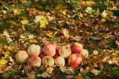 Manzanas apiladas en una pila en la tierra en el jardín Imagenes de archivo