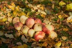 Manzanas apiladas en una pila en la tierra en el jardín Foto de archivo