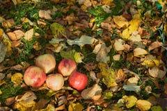 Manzanas apiladas en una pila en la tierra en el jardín Fotografía de archivo