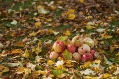 Manzanas apiladas en una pila en la tierra en el jardín Imágenes de archivo libres de regalías