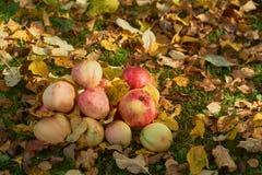 Manzanas apiladas en una pila en la tierra en el jardín Fotos de archivo libres de regalías