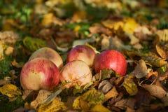Manzanas apiladas en una pila en la tierra en el jardín Imagen de archivo libre de regalías