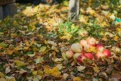 Manzanas apiladas en una pila en la tierra en el jardín Fotografía de archivo libre de regalías