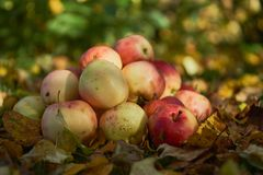 Manzanas apiladas en una pila en la tierra en el jardín Fotos de archivo