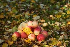 Manzanas apiladas en una pila en la tierra en el jardín Imagen de archivo