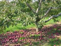 Manzanas caidas Foto de archivo