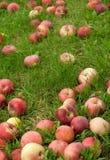 Manzanas caidas en hierba verde Imágenes de archivo libres de regalías
