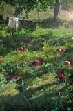 Manzanas caidas en un manzanar Fotografía de archivo libre de regalías