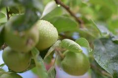 Manzanas con la condensación imágenes de archivo libres de regalías