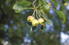 Manzanas con las gotas de agua Imagen de archivo