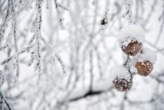 Manzanas congeladas en un árbol Fotos de archivo