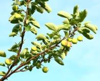 Manzanas crecientes Imagen de archivo libre de regalías