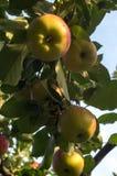 Manzanas de Bohemia del oro foto de archivo