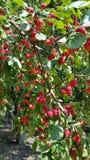 Manzanas de cangrejo fotografía de archivo