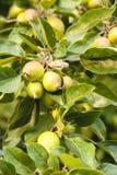 Manzanas de cangrejo Imagen de archivo libre de regalías